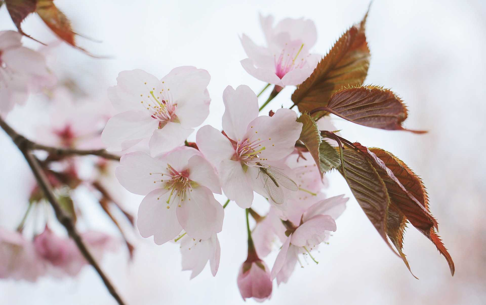 original_japanese-cherry-trees-2193226_1920