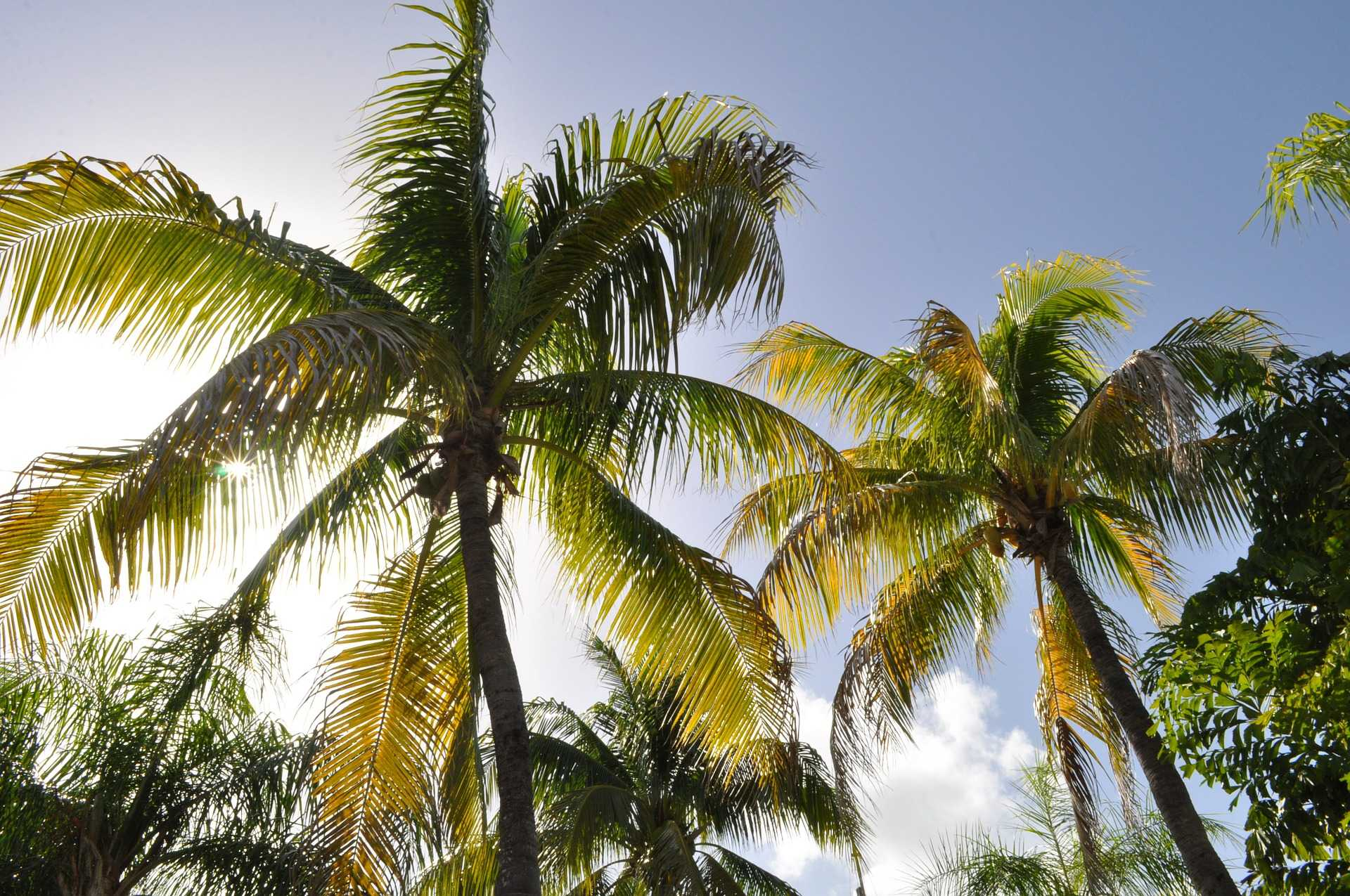 original_coconut-trees-1172459_1920