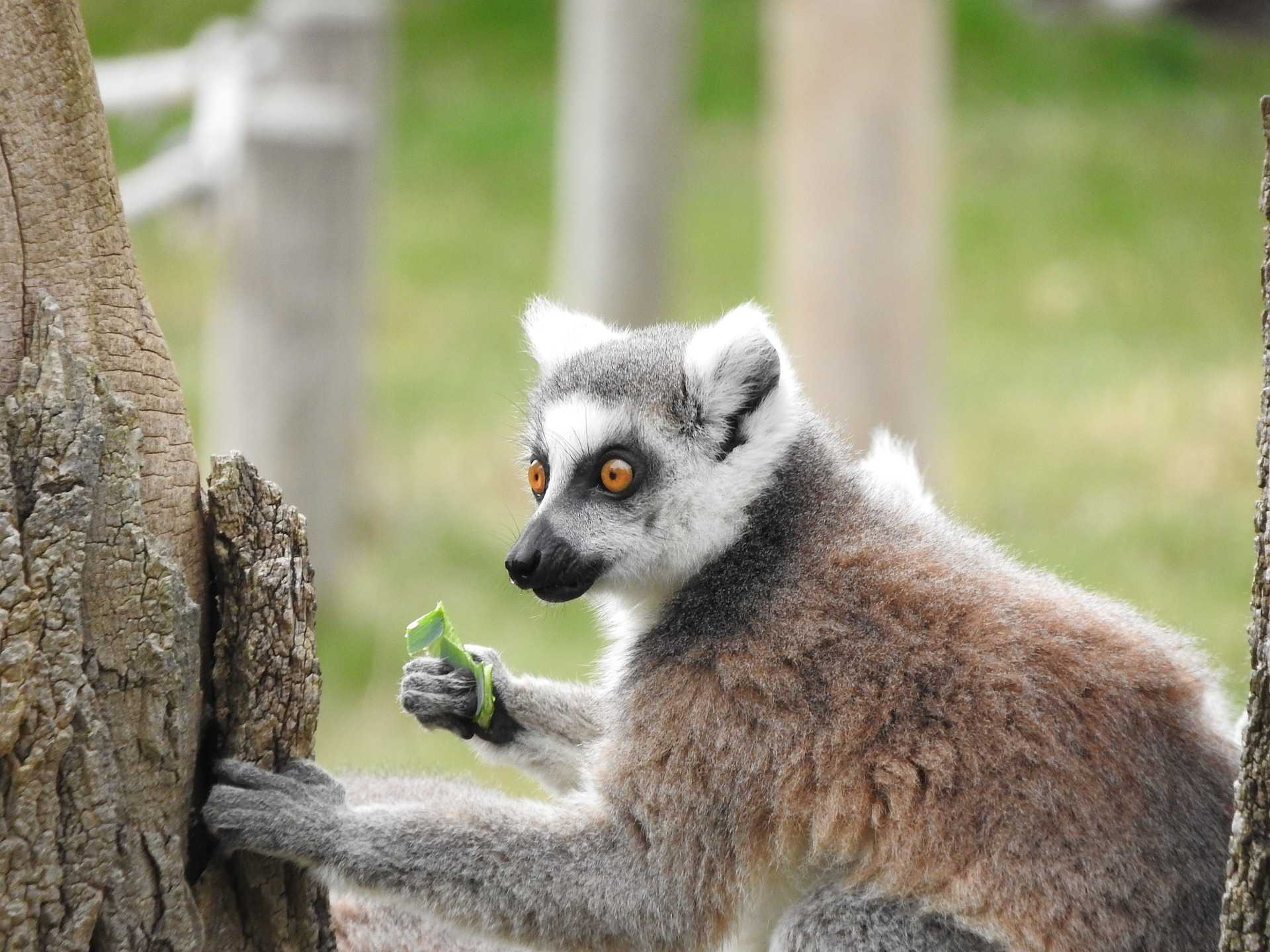 original_ring-tailed-lemur-1291374_1920
