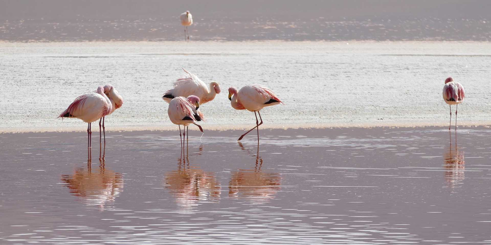 original_flamingos-2099640_1920