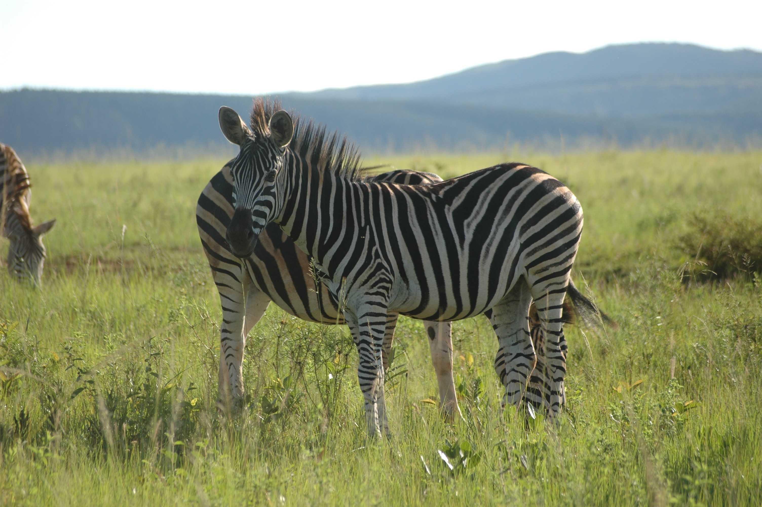zebra wildlife south africa - HD1280×851