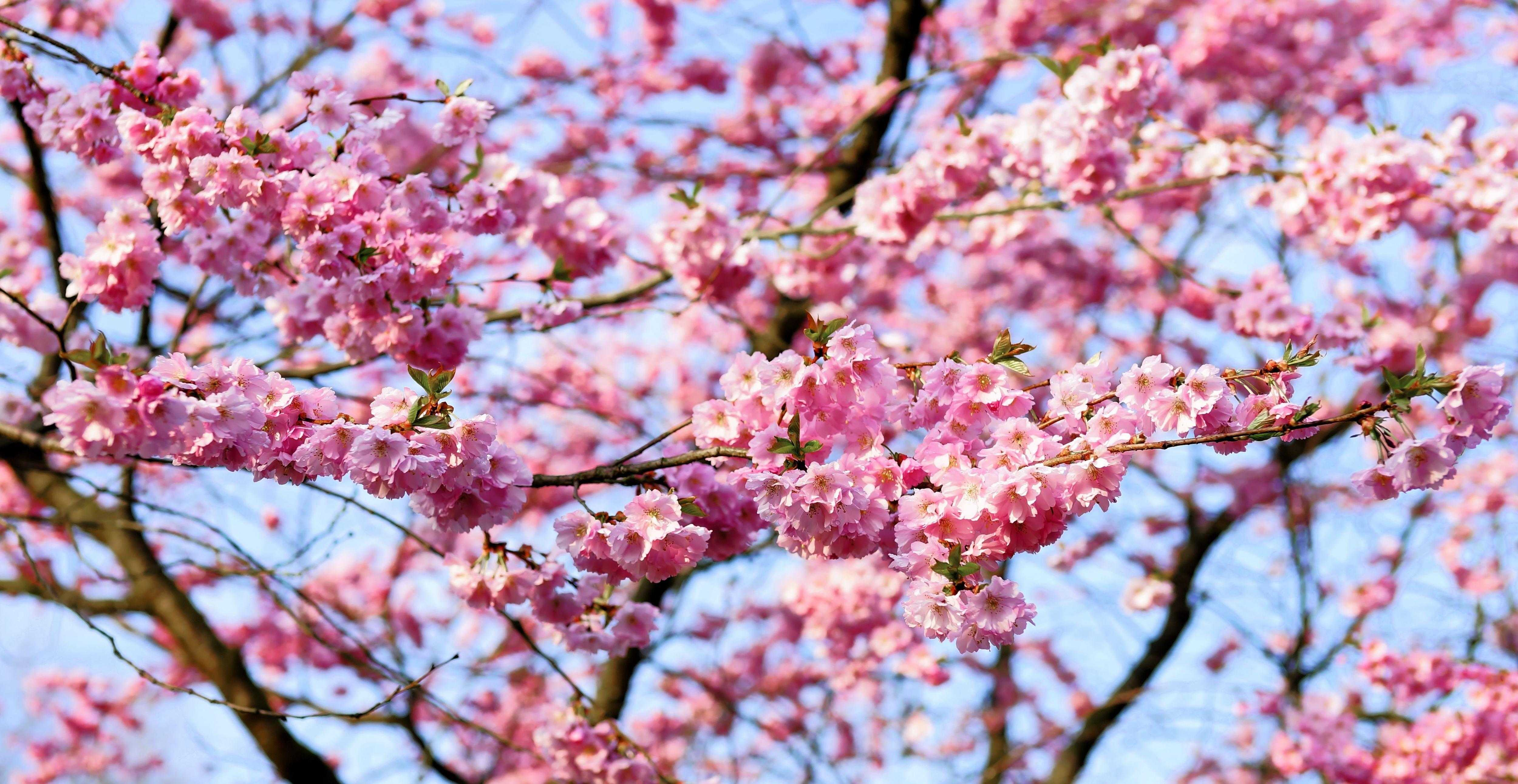 original_cherry-blossom-1318258